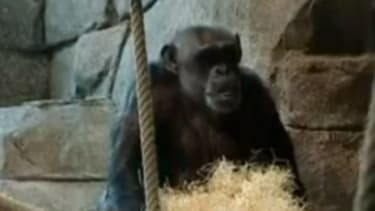 Santino used a pile of hay to obscure rocks that he planned to throw at spectators who approached his pen at Sweden's Furuvik Zoo.