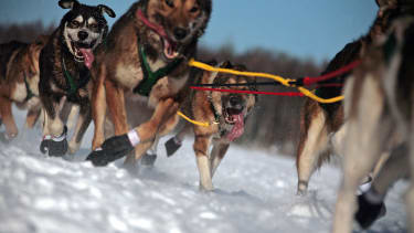 Iditarod sled dog racers took off today.