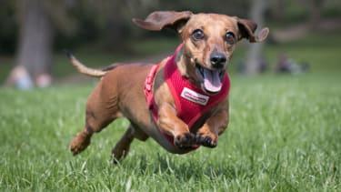 A dachshund enjoys running through the grass.