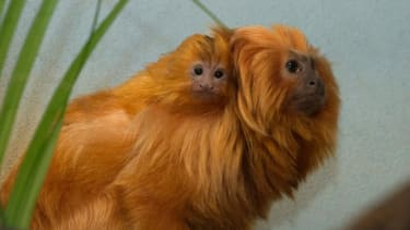 Prospect Park Zoo welcomes endangered baby lion tamarin