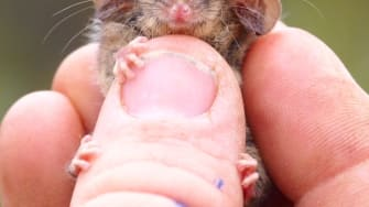 A pygmy possum.