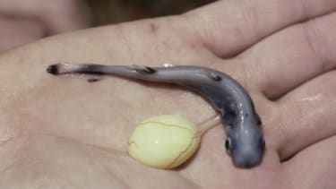 A newborn pygmy spiny-tailed shark with a yolk sac still attached: The smalleye pygmy shark uses its glowing belly to hide from larger predators.