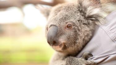 A koala.
