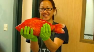 Just a monstrously gigantic goldfish — NBD.