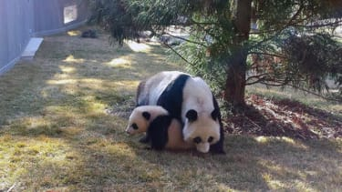 National Zoo panda cub Bao Bao explores the great outdoors for the first time