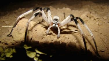 A new species of spider was found in Israel last year: Scientists say 86 percent of life on land has never been seen and it may be extinct before it is found.