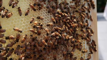Pesticides targeting Zika-carrying mosquitoes have also taken a toll on bees.