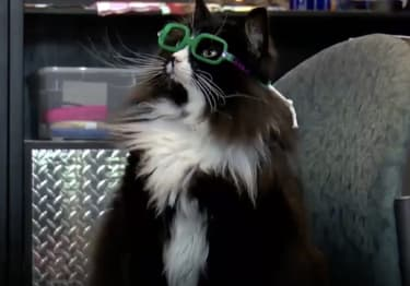 Truffles the cat wearing glasses.