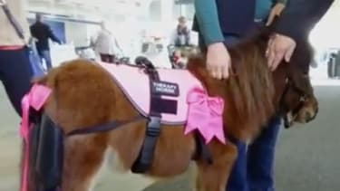 A miniature therapy horse works with passengers in Kentucky.