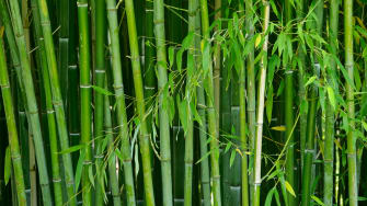 Bamboo may be the literal building blocks of the future.