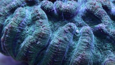 Ridged cactus coral spawning.