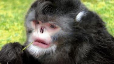 The newly discovered Rhinopithecus strykeri monkey