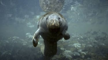 The manatee population in Florida's Kings Bay is threatened by high-speed boats, but Tea Partiers say there are bigger issues at stake than this gentle marine mammal.