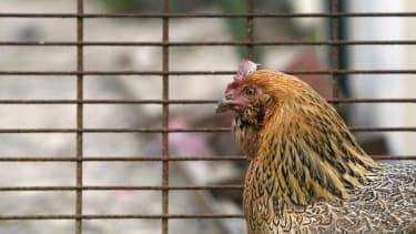 backyard chicken.