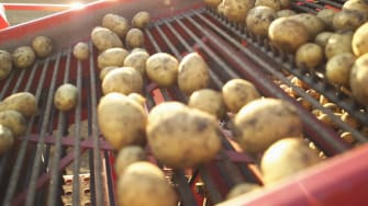 Potato harvest, Germnay.