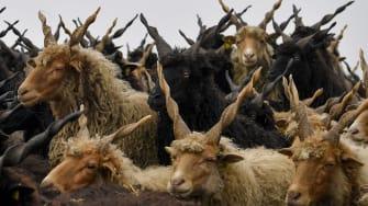 An ancient breed of Hungarian sheep.