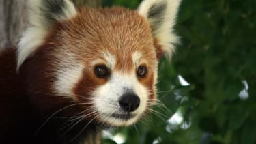 Red panda heartbreakingly clings to dead sister after Chinese earthquake