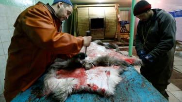 Farm employees process reindeer skin.