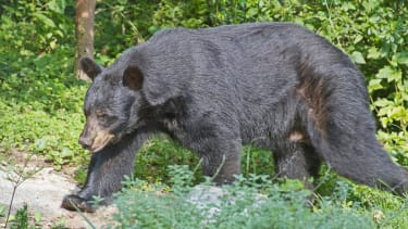 Minnesota man defends himself against 525-pound bear with 5-inch knife