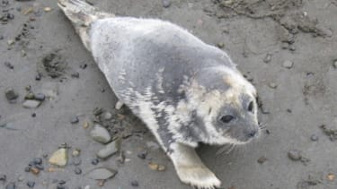 A diseased ringed seal