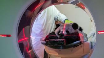 A panda.