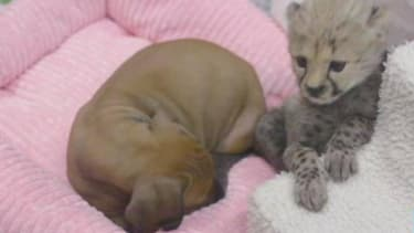 Cheetah cub, puppy form strong and unlikely bond