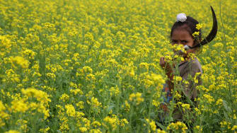 A child works in a mustard field in India.