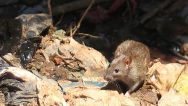 A rat in Madagascar's capital, Antananarivo