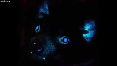 Tasmanian devil under black light