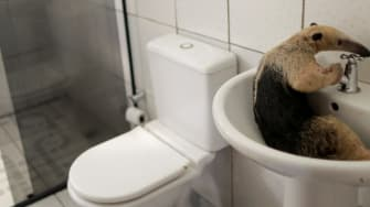 An anteater in a sink.