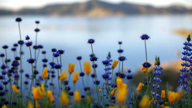 California flowers after drought