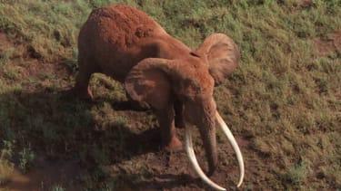 Poachers kill one of Kenya's few remaining 'tusker' elephants