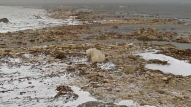 Google Street View presents: Polar bears in action