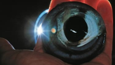 The eyes of a giant Humboldt squid