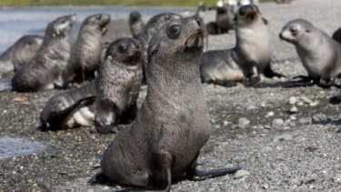 As Antarctic fur seal pups grow, they sometimes travel thousands of miles away from their birthplace, only to return to nearly the same spot when it's time for them to give birth.