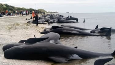 Beached pilot whales in New Zealand