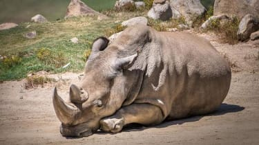 One of the world's last 6 northern white rhinos has died