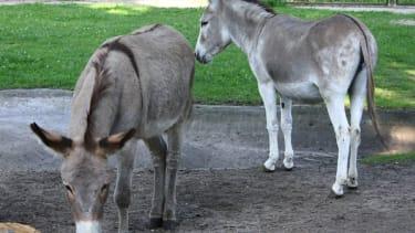 Polish zoo reunites amorous donkey couple after protests