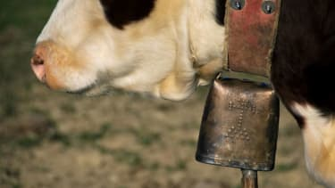 Study: Cowbells could be hurting cows' ears