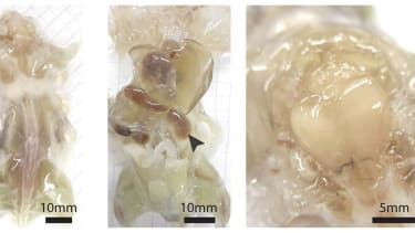 See-through mice created by scientists look creepy, but could lead to medical breakthroughs