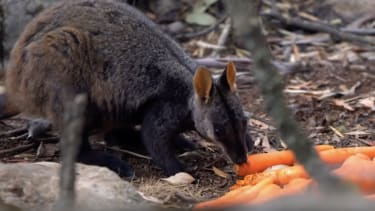 A brush-tailed rock-wallaby eats a carrot dropped into the wild.