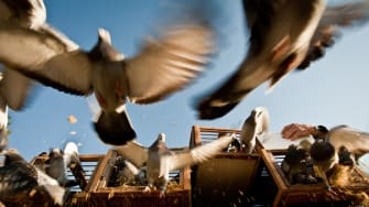 Homing pigeons are released.