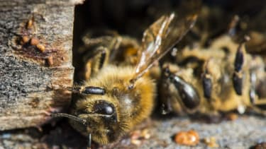 Mafia parasite makes bees dig their own graves