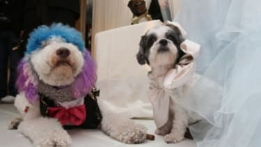 Chilly Pasternak (left) and Baby Hope Diamond (right) tied the knot in New York with the most expensive pet wedding to date, the ceremony was officiated by Triumph the Insult Comic Dog.