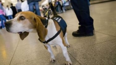 Dogs have famously helped out in airport security, but now they are also putting their muzzles to use detecting cancers and concealed cellphones.