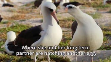 Wisdom, the oldest known wild bird, and her partner.