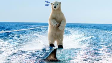 A waterskiing polar bear.