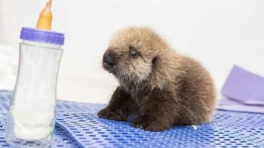 This orphaned sea otter pup will steal your heart