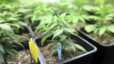 Justice Department: Native Americans can grow marijuana, even in states where it's illegal