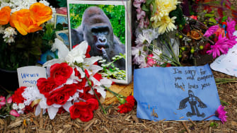 A picture of Harambe at the Cincinnati Zoo with flowers left by mourners.